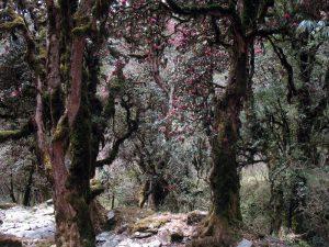 Rhodie forest.